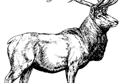The Red Deer Stag…why its our logo